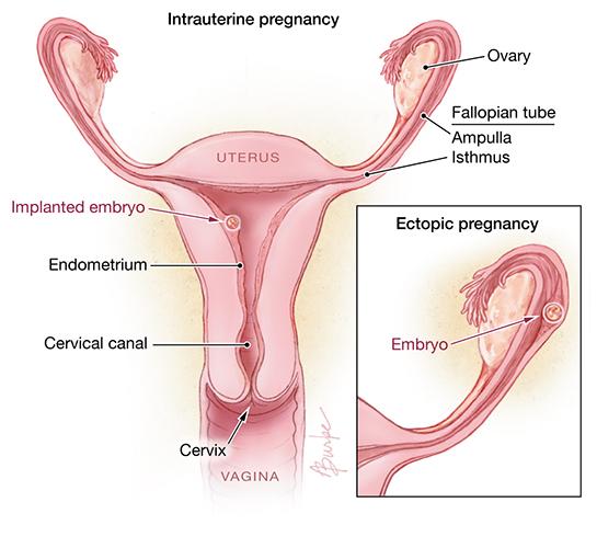 Pregnant uterus anatomy