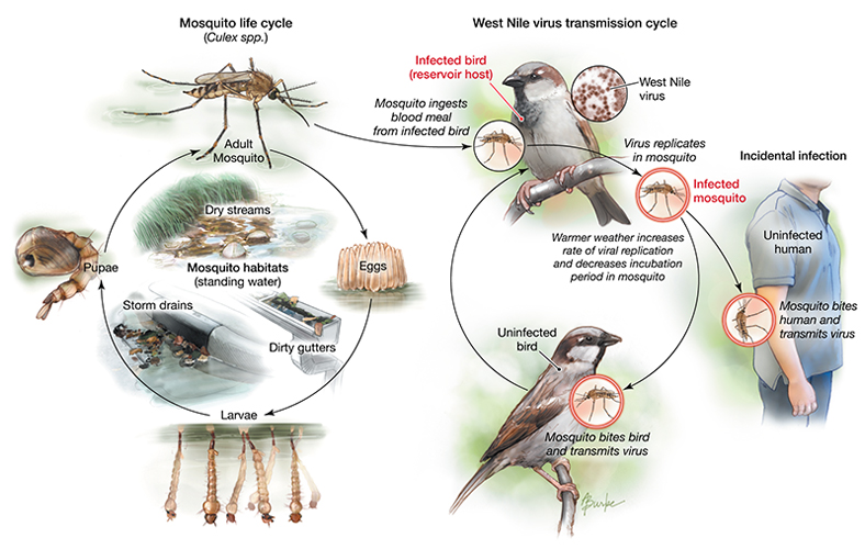 west nile virus life cycle pdf